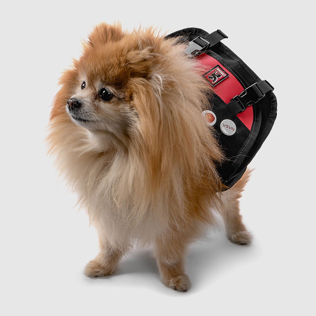 Description of the breed Spitz: the pros and cons, varieties and reviews
